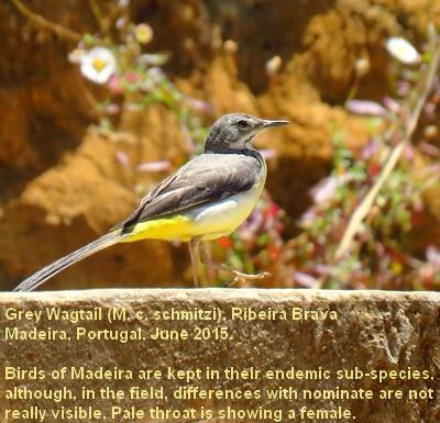 Motacilla_cinerea7