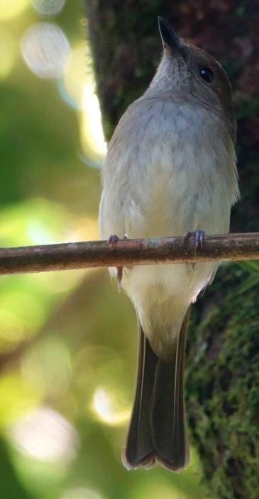 pachycephala_albiventris_4ph