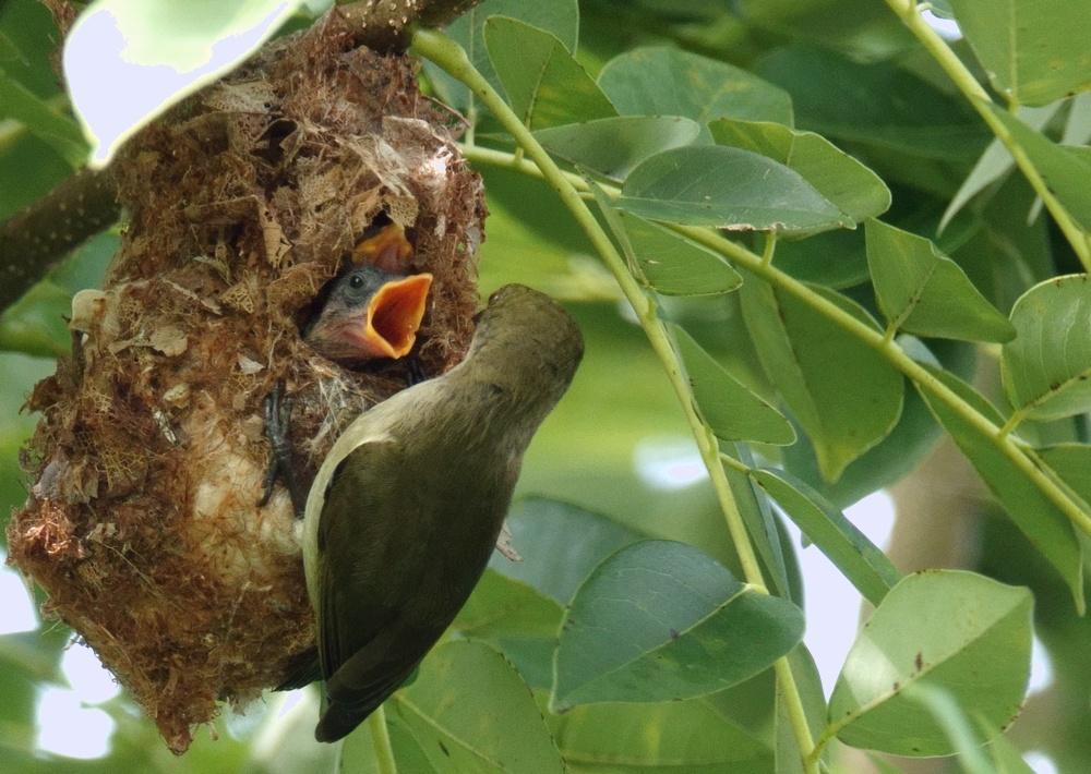 Dicaeum_annae_2_mbeliling_nest_feeding_pulli_flores_indonesia