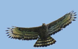 Stephanoaetus_coronatus_accipitridae
